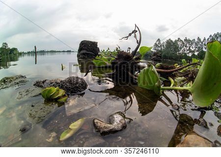 Water Hyacinth Is A Free-floating Perennial Aquatic Plant (or Hydrophyte) Native To Tropical And Sub