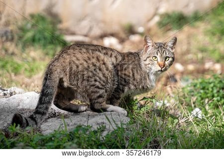 Street Spotted Brown And Gray Cat Looks Back Turning Head, Watchful Around. Homeless Animals Concept