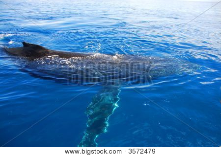 Humpback Whale In Hervey Bay, Australia