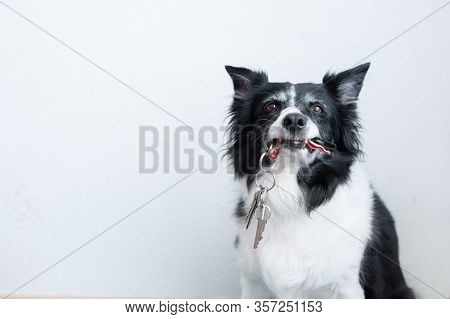 Grinning Border Collie With Keys. Dog Holding A Bunch Of Keys In Mouth.