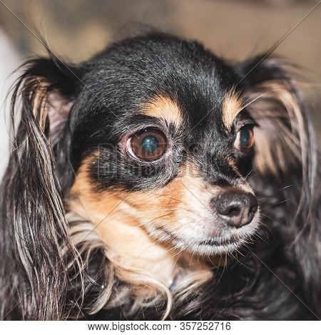 Long-haired Toy Terrier Dog In The Hands Of The Mistress.