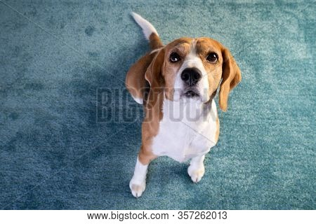 Beagle Dog Sit On A Carpet With Head Up, White And Brown Color, Cute Dog