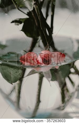 Beautiful Red Pink Rose Bud In Water Inside Of Vase. Pure Beauty. Rose Stems In Water. Water Drops.