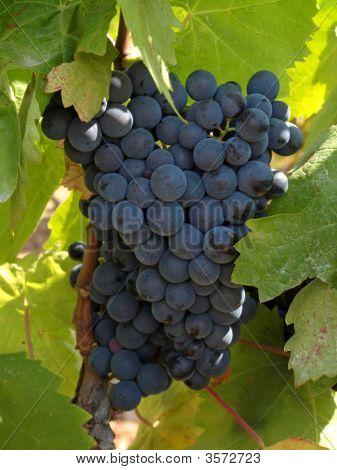 Bunchs Of Grape