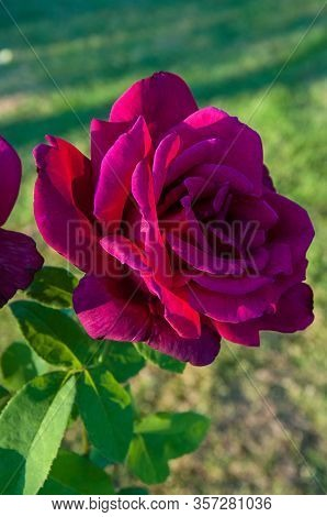 Magenta Pink Rose On Plant With A Defocused Background.  Stunning Bright Rose Petals On This Rose Bu