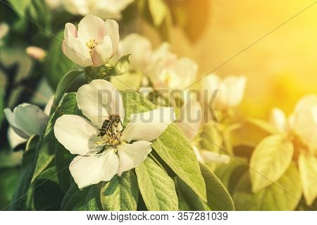 Bees On A Flowering Quince. Close Up Bumble Bee On Pink Cosmos Flower Pollen Background, Insect In S