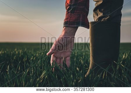 Farmer Examining Wheat Plants In Wheatgrass Field, Close Up Of Hand Touching Green Cereal Crop Sprou