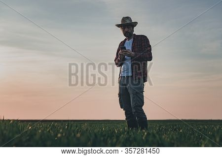 Farmer Using Smartphone In Wheat Crop Field, Smart Farming Concept On Wheatgrass Plantation