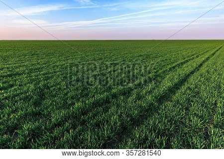 Cultivated Wheatgrass Field In Perspective With Sky As Copy Space