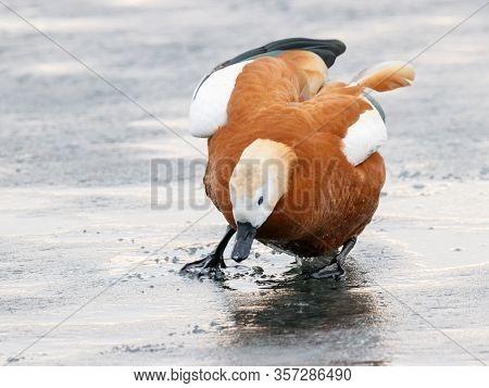 Ruddy Shelduck Tadorna Ferruginea Female Slip On Ice On Frozen Pond. Cute Bright Funny Clumsy Orange