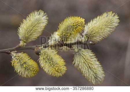 Pussy Willow Branches With Catkins On Blurred Brown Natural Background . Flowering Willow Close Up,