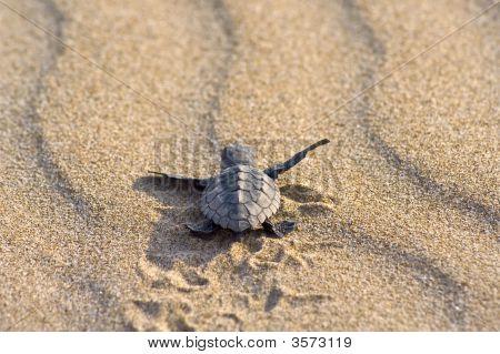 Loggerhead Turtle Baby