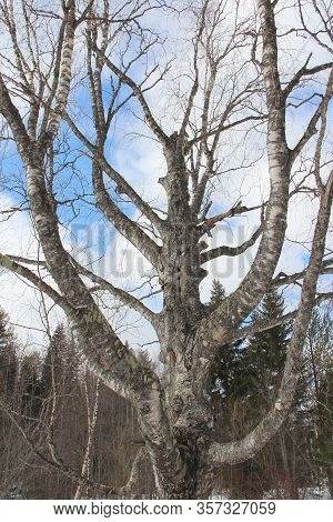 Old Big Clumsy Birch In The Winter Forest Against The Sky.