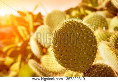 Cactus growing, Eatable Prickly pear cactus, opuntia fruit, cactus spines closeup.