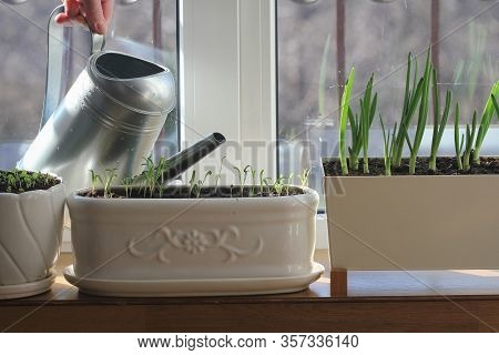 Women Gardener Watering Plants. Container Vegetables Gardening.young Seedling Of Onion, Basil, Spina