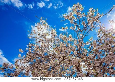 Light spring clouds over blooming land. Lush elegant flowering olive tree. White-pink olive tree flowers. Spring in Israel. Ecological and photo tourism concept