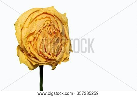 Wilted Yellow Rose On A White Background