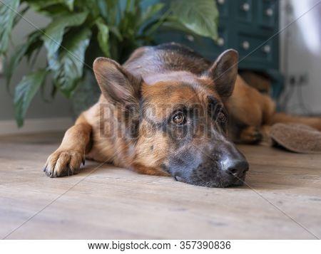 Portrait Of A German Shepherd, 3 Years Old, Portrait, In Front. Lie Down On Floor, The Netherlands