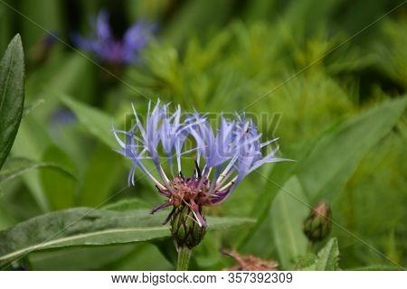 Blue Bachelor's Button Flower Blossom Up Close