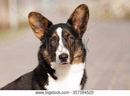 Dog Breed Welsh Corgi Cardigan Sitting. Beautiful Portrait. Place To Copy. Concept Products For Dogs