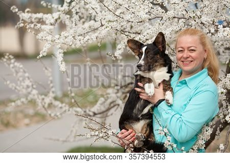 Happy Owner Of An Adult Woman Holding Your Welsh Corgi Cardigan In The Spring In The Flowering Trees