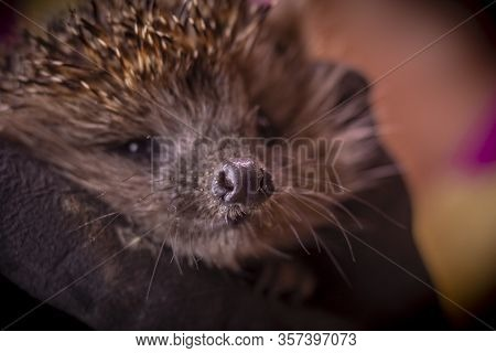 Hedgehog In The Arms. Dark Lighting. Hand In A Glove Of Dark Color. Hard Shadows. Shallow Depth Of F