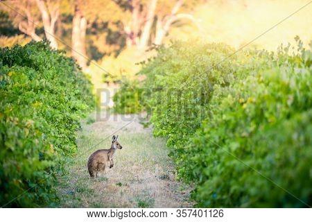 Kangaroo in Adelaide Hills vineyard