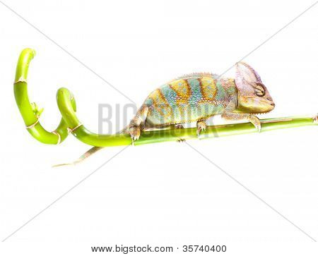 Chameleon on stem. Isolation on white