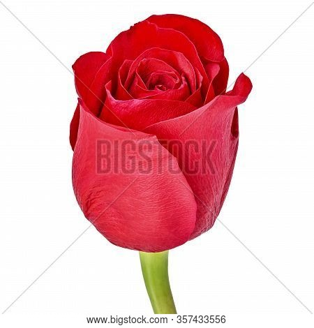 Red Rose Flower Isolated On A White Background. Close-up. Flower Bud On A Green Stem.