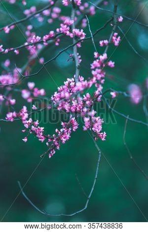 Purple Flowers Of Cercis Canadensis On Dark Emerald Green Background. Delicate Floral Background. Pi