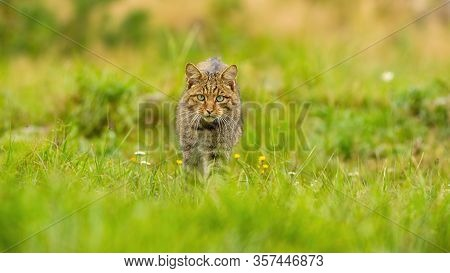 Fierce European Wildcat Hunting On A Summer Meadow In Nature