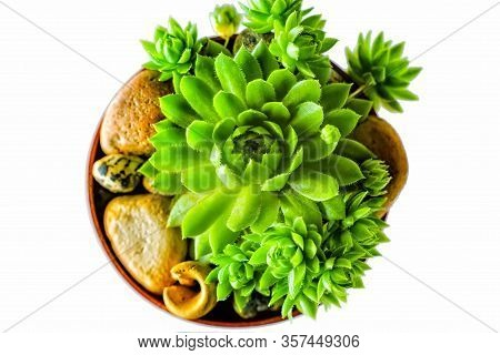 Macro Of The Succulent. Meaty Juicy Green Succulent Petals On White Background