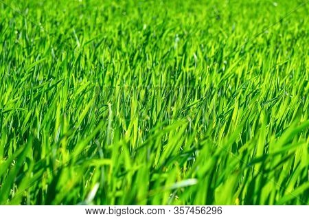 Regenerative Agriculture, Holistic Management, Farming Problem Concept. Green Wheat Field Background