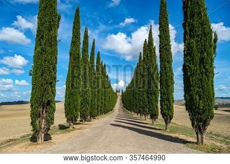 Cypress Trees Rows And A White Road Rural Landscape