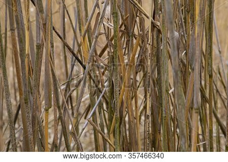 Brown Reed Texture. Dried Stalks Of Reed, Abstract Background. Wild Dry Swamp Grass  In Nature.