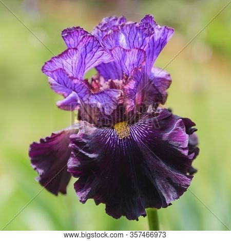 Background, Bearded, Beautiful, Beauty, Bloom, Blooming, Blossom, Botanical, Botany, Bright, Close,