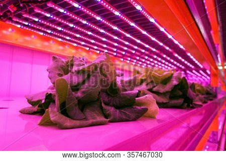 Special Led Lights Belts Above Lettuce In Aquaponics System Combining Fish Aquaculture With Hydropon