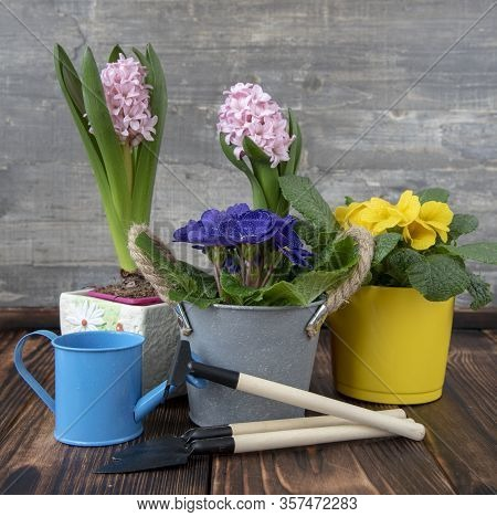 Bright Primroses And Hyacinths In Flower Pots