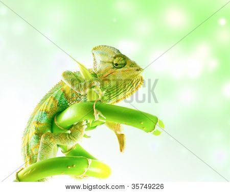 Chameleon on stem. Isolation on white
