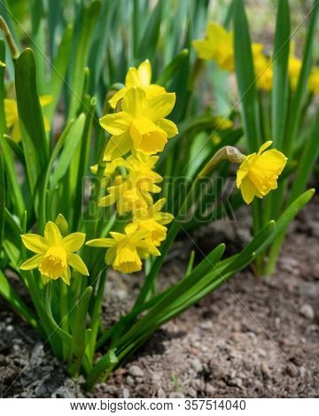 Petit Narcissus 'Tete-a-Tete' daffodils in a home garden.