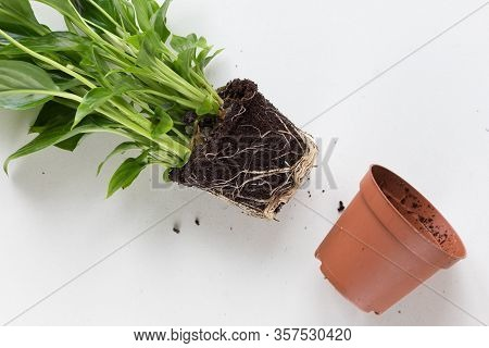 Root Of Houseplant Spathiphyllum Before Repotting On White Background