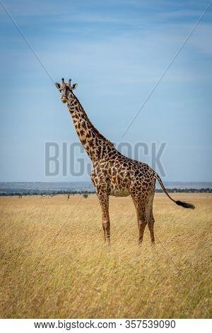 Masai Giraffe Stands In Grassland Flicking Tail