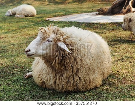 Sheep Is Sitting On Grass In Meadow.sheep Wild.