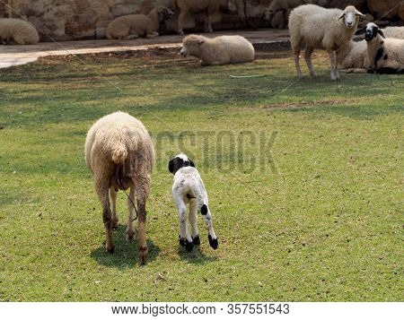 The Sheep Just Gave Birth In A Meadow On Green Grass.