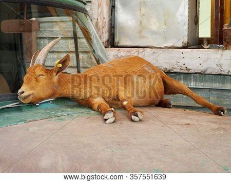 The Goat Is Sleeping On Car Bonnet In Farm.