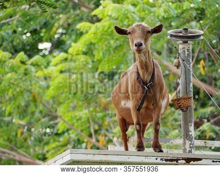 A Goat Standing In The Wooden Balcony Watching The Tourist At The Farm.