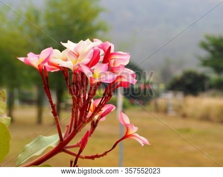 Beautiful Pink Plumeria Rubra Flowers On Background.