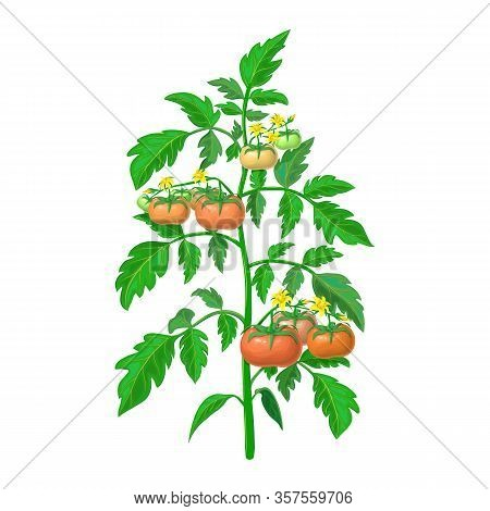 Vector Tomato Plant Illustration Isolated On White Background. Healthy Flowering Tomato Bush With Gr