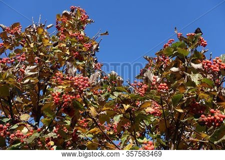 Speckled Red Berries In Autumnal Leafage Of Sorbus Aria Against Blue Sky