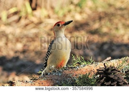 Close-up Of A Male Red-bellied Woodpecker, Perched On A Tree Branch, With His Red Under Belly Showin